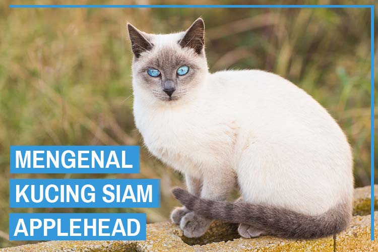 Kucing Siam Applehead (Applehead Siamese Cat)
