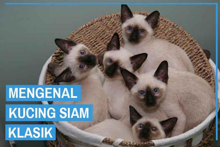 Kucing Siam Klasik (Classic Siamese Cat)