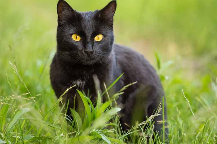 Ras Kucing Bombay