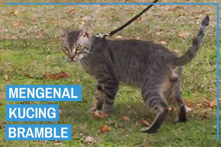 Mengenal Kucing Bramble