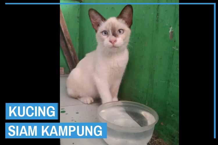 Kucing Siam Kampung (Siam Mix Dome)