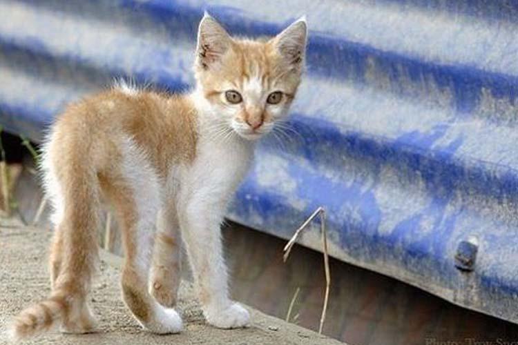 Anak Kucing Kurus