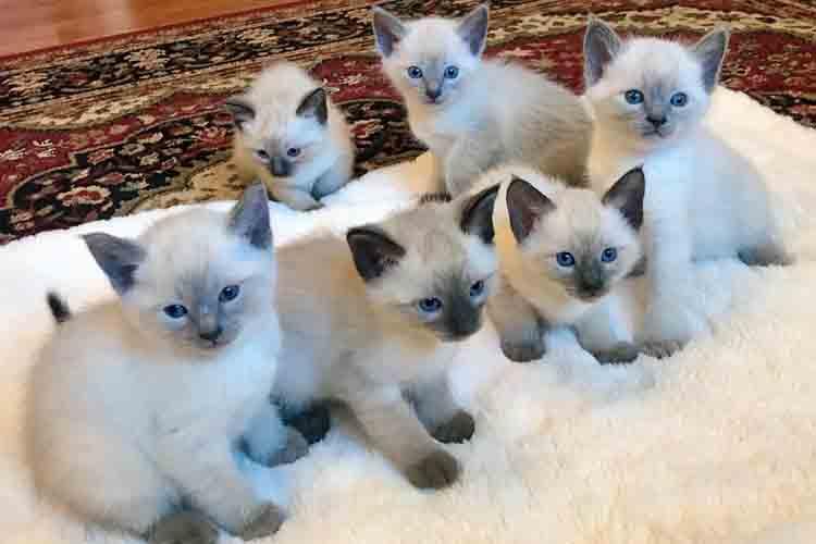 Anak Kucing Siam