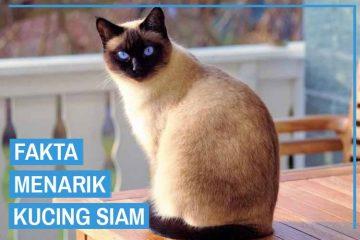 Fakta Menarik Kucing Siam