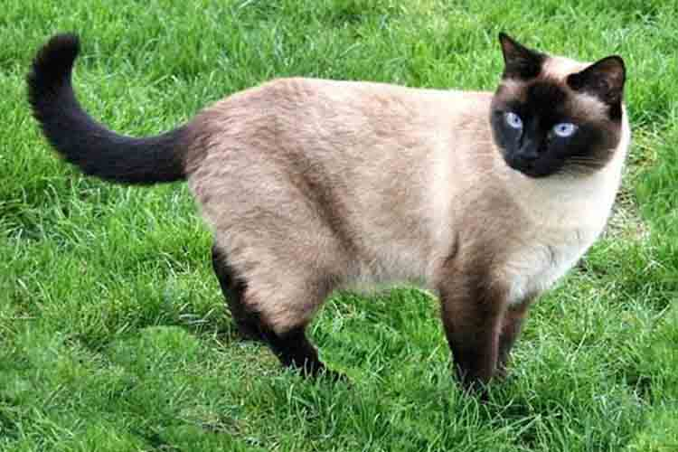 Kucing Siamese Thailand