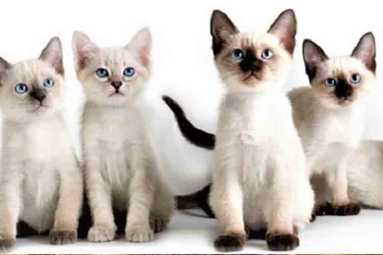 Kucing Siam Thailand