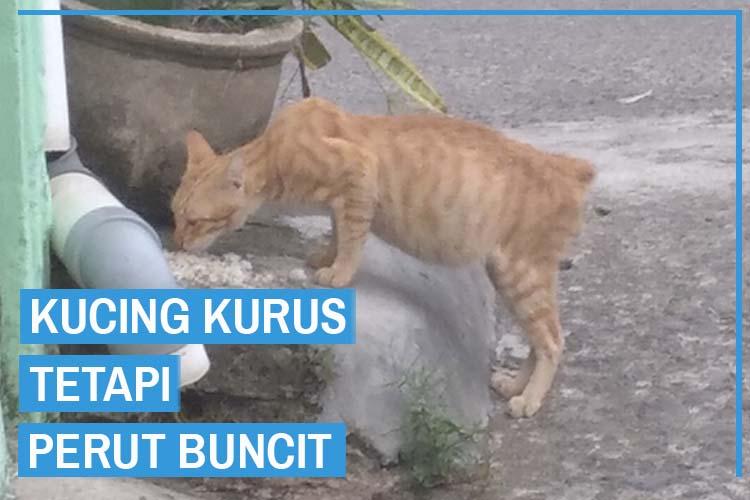 Kucing Kurus Tetapi Perut Buncit
