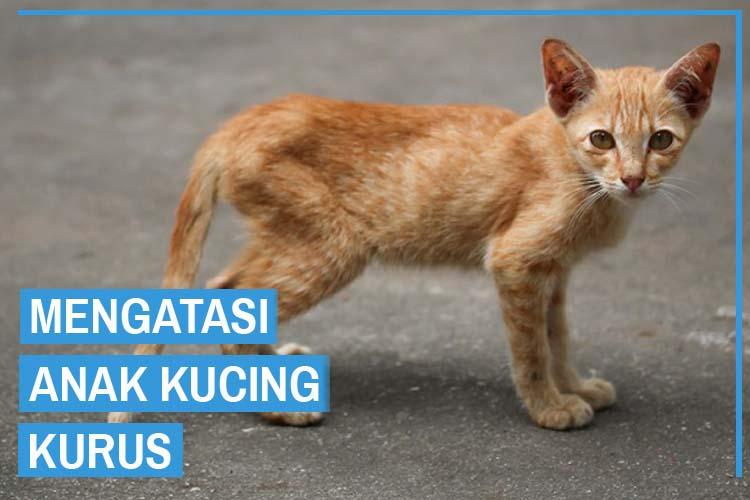Menangani Anak Kucing Kurus Dan Mudah Sakit