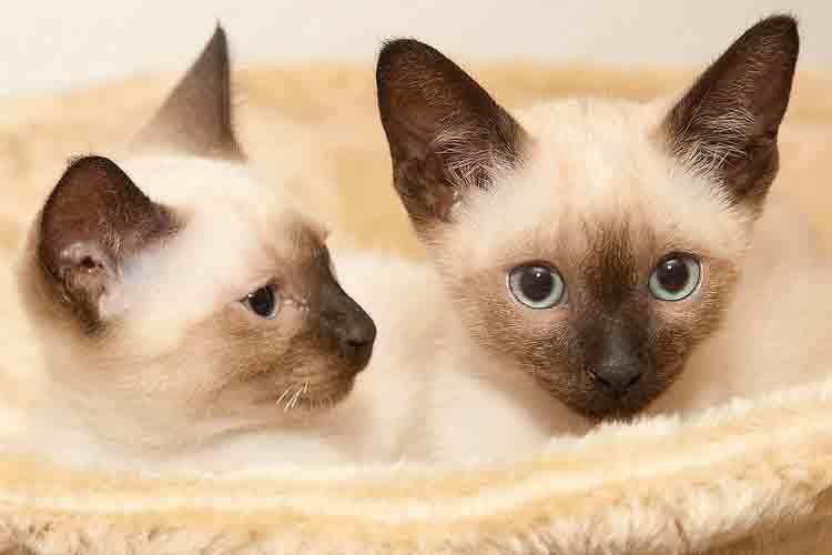Dua Ekor Kucing Siam