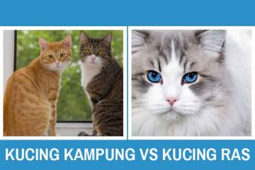 Kucing Kampung Vs Kucing Ras