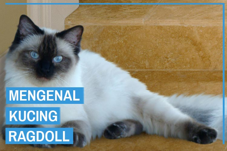 Mengenal Ras Kucing Ragdoll